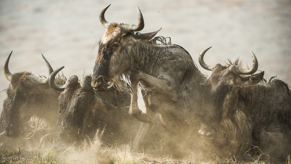 Wildebeest Safari Migration