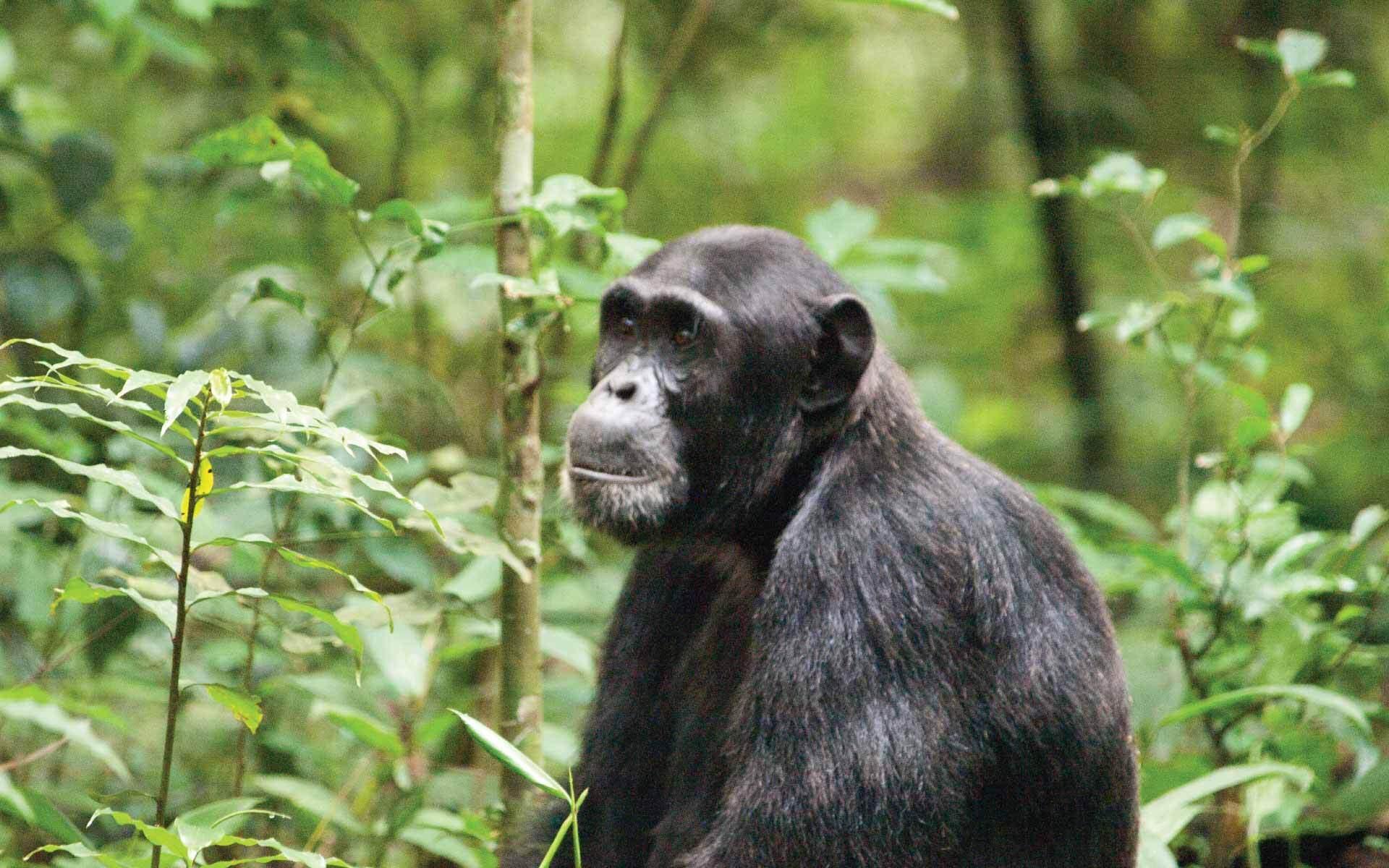 Chimpanzee Safari Bwindi