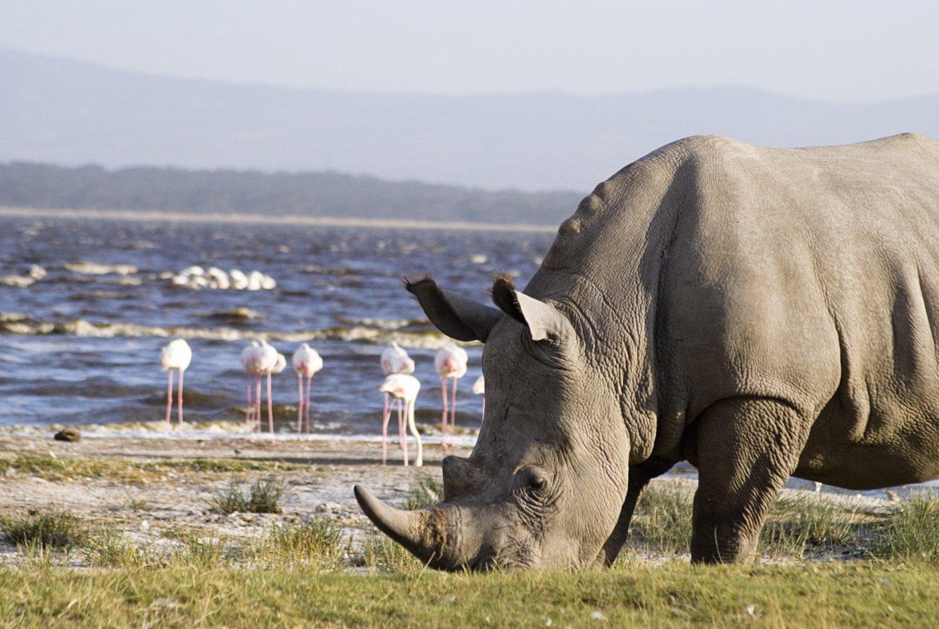 Rhino at Lake Shore
