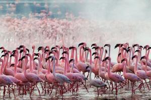 Flamingos Lake Nakuru Safari