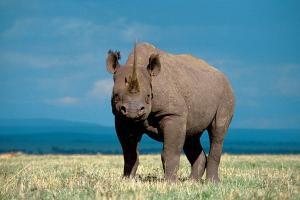 Rhino on Game Drives