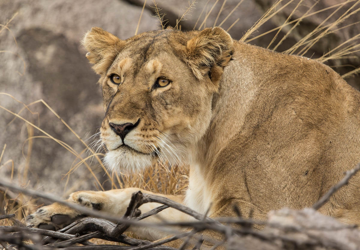 Lion Migration Safari