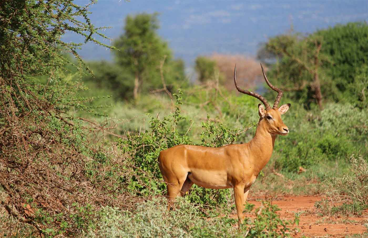 Gazelle Safari Tsavo
