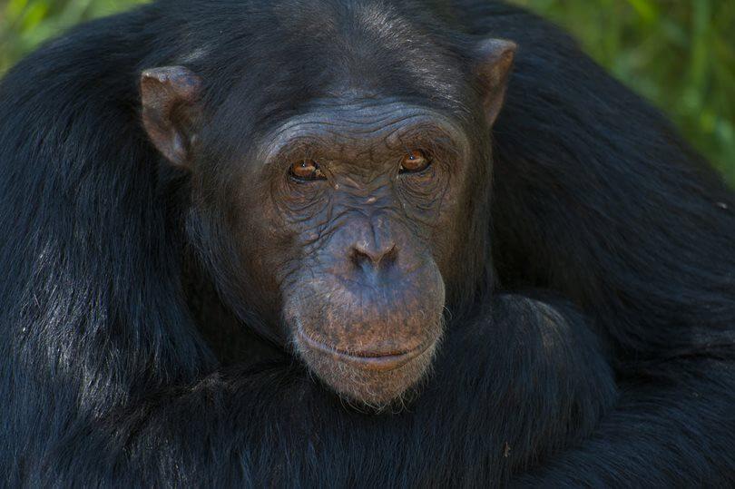 Chimp Ol Pejeta Safari