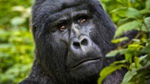 Gorilla Bwindi Safari