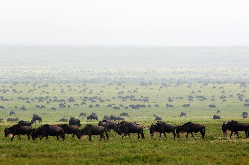 Migration Wildebeest Safari