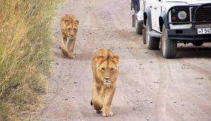 Serengeti Lions Walking - Cheetah Safaris